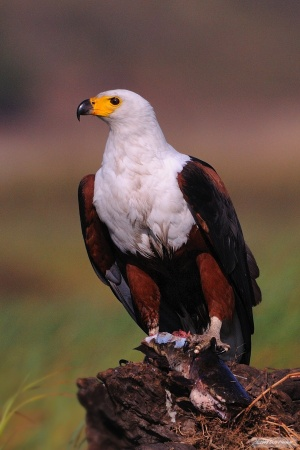 African Fish Eagle FoodWM