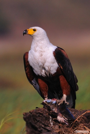 African Fish Eagle FoodWM