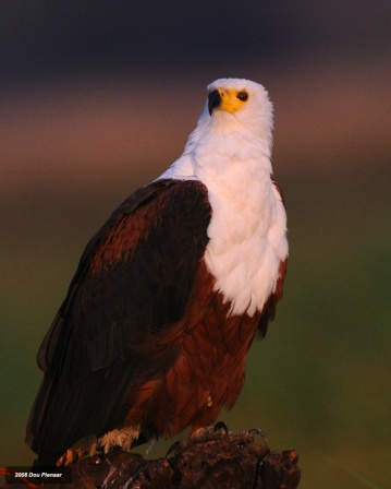 Proud African Fish Eagle - Chobe