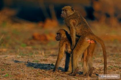 Chobe River - Teenage Baboon mischief
