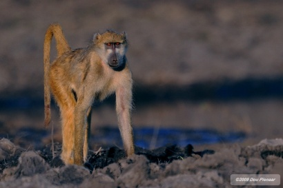 Chobe River - Baboon view