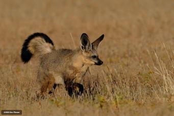 Kgalagadi - Dominant Male Batear Fox