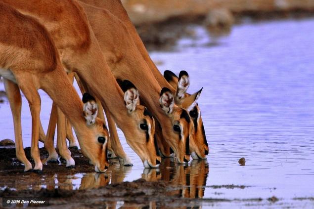 Etosha Black faced Impala