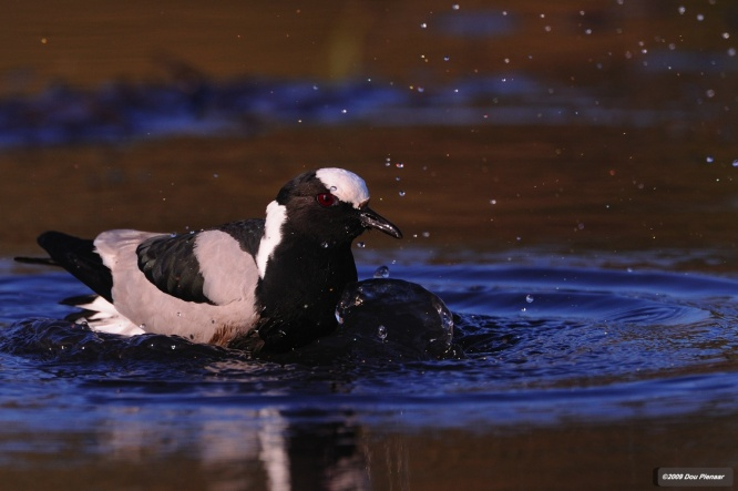 Blacksmith Plover having a bath