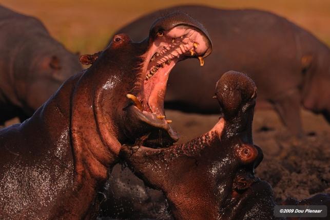 Chobe River - Hippo clash
