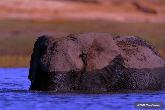 Chobe Elephant - River crossing