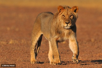 Kgalagadi - Young Male approach