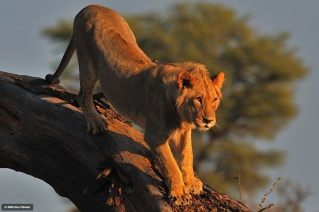 Kgalagadi young male decending from tree