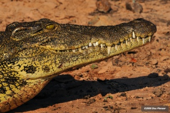 Chobe River - Crocodile