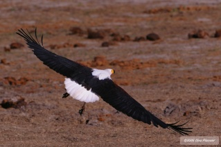 Wingspan - Afircan Fish Eagle
