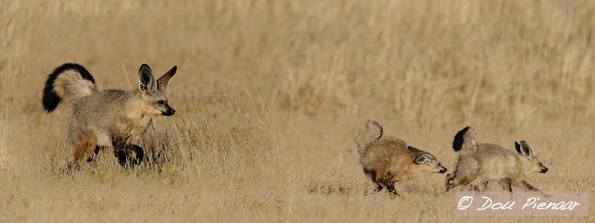Kgalagadi Bat Eared Foxes