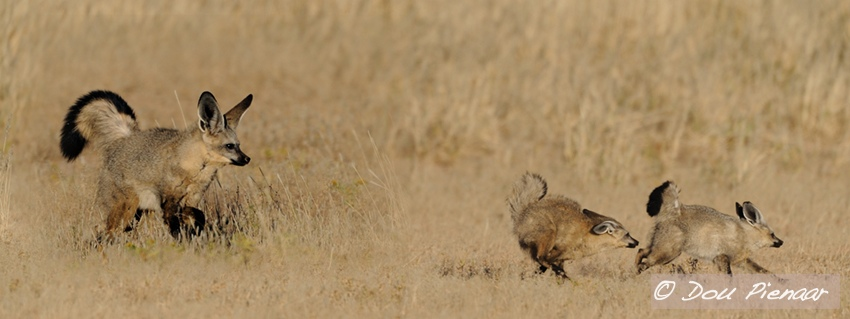 Kgalagadi Bat Eared Foxes