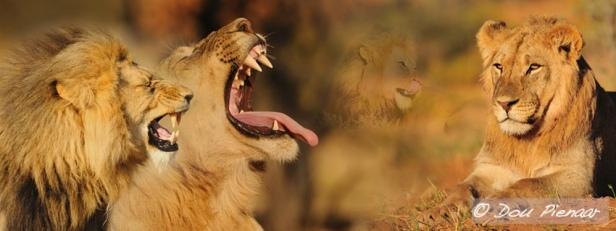 Kgalagadi Lions