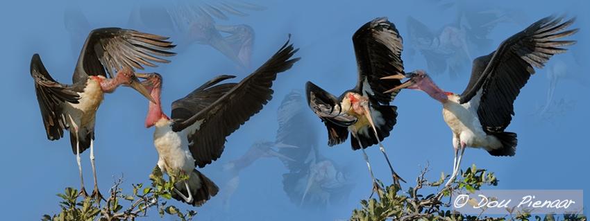 Chobe Maribu Storks
