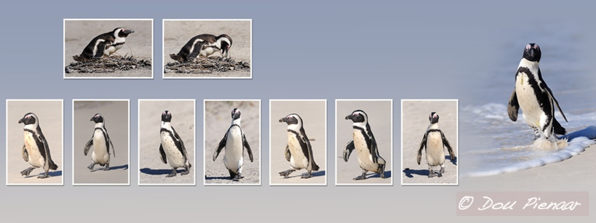 Cape Town Penquins