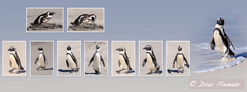 Cape Town Penquins