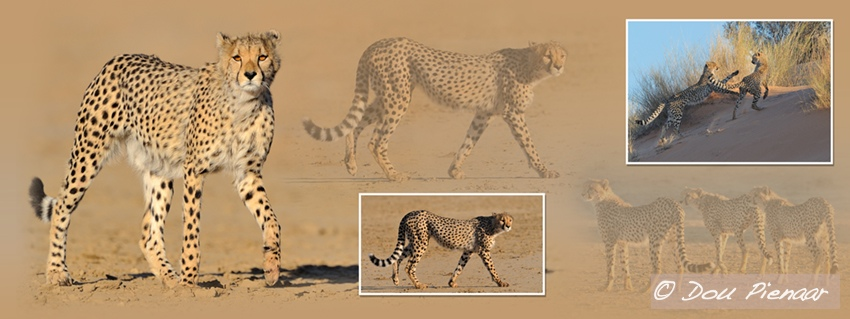 Kgalagadi Cheetah siblings