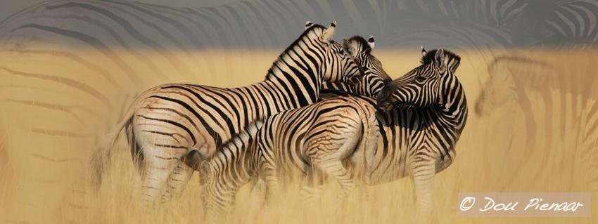 Etosha Zebra Background