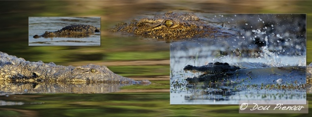 Chobe Crocodiles