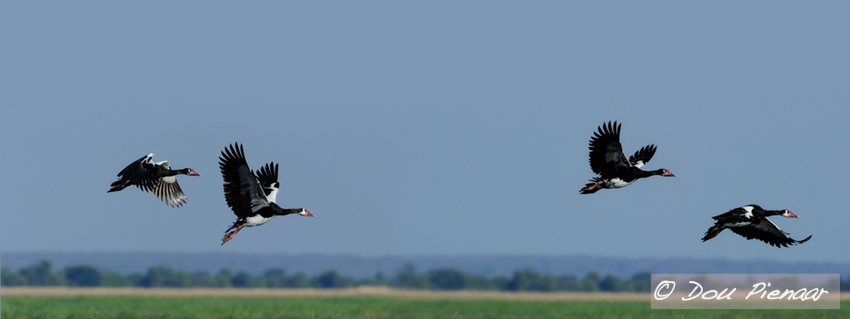 Chobe Spur winged Geese