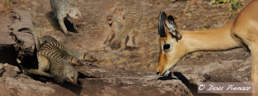 Striped mongoose and Impala in Chobe