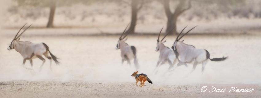Kgalagadi Jackal chasing Gemsbuck