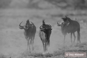Kgalagadi - Wildebeest in the dust