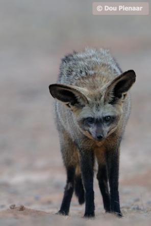 Kgalagadi - 'Low lite' Batear Fox