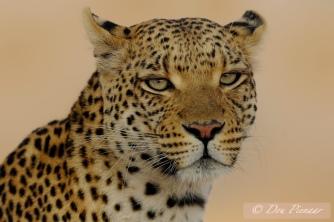 Sandibe Female - Okavango Delta Botswana