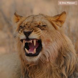 Future King of the Kgalagadi