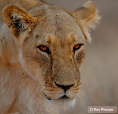 Kgalagadi - Leading hunter of the pride