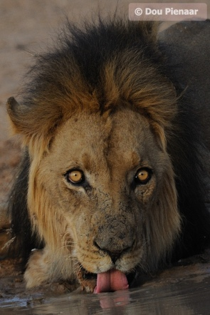 King of the Kgalagadi