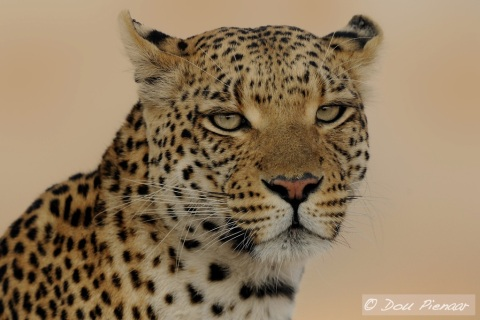 Young Female Leopard - Sandibe