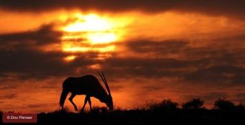 Early Morning Kgalagadi Oryx Sihouette