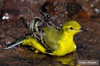 Yellow Wagtail Bath Time!