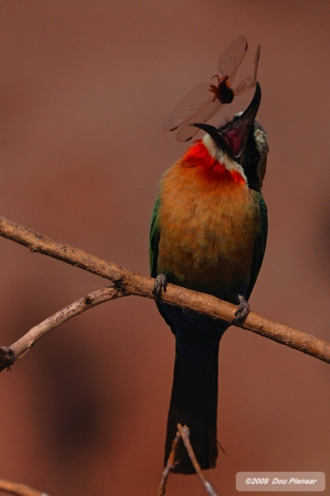 White fronted Bee-eater catching Drogonfly