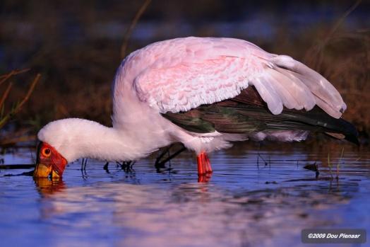 Feeding Ywllow Billed Stork
