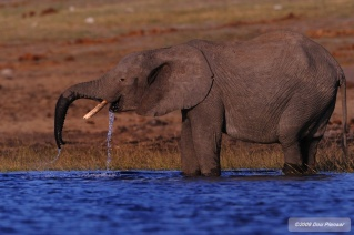 Chobe Elephant enjoys welcome