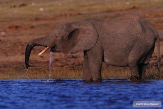 Chobe Elephant enjoys welcome