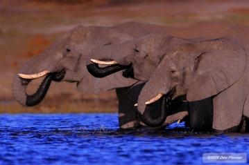 Chobe Elephant in the Chobe River
