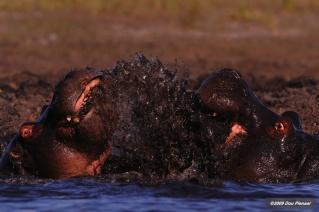 Fierce Hippo fight