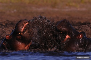 Fierce Hippo fight