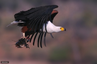 African Fish Eagle - Bable