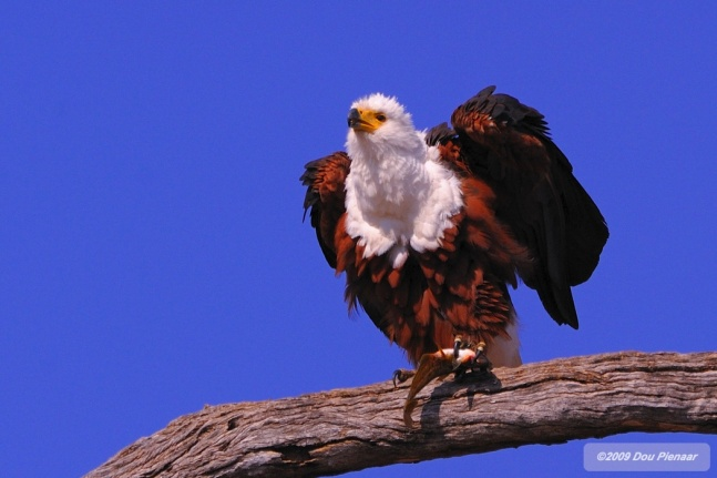 Fish Eagle BiteWM