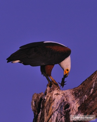 Fish Eagle SnackWM