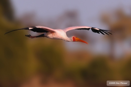 Flying Yellow Billed Stork