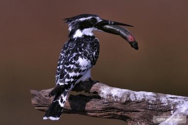 Pied Kingfisher - Chobe River Botswana