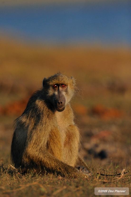 Chobe River - Baboon Pose