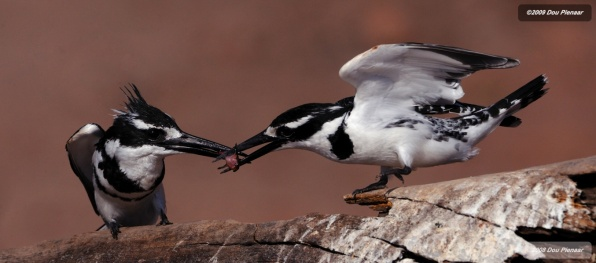 Pied kingfishers working together to feed the babies