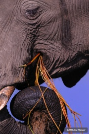 Chobe Elephant draining water from grass roots